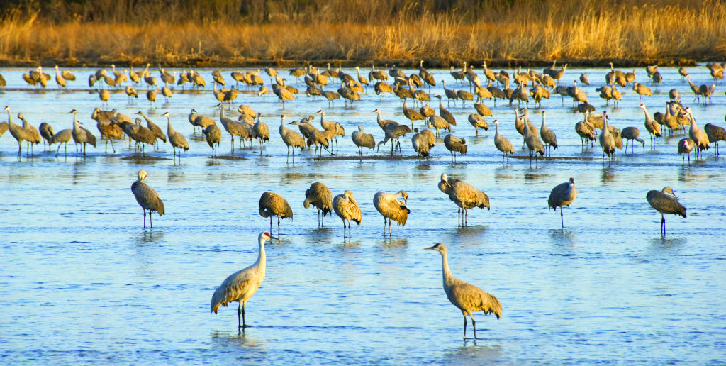 A Night With The Sandhill Cranes At The Crane Trust In >> Best Places To See Cranes Necv